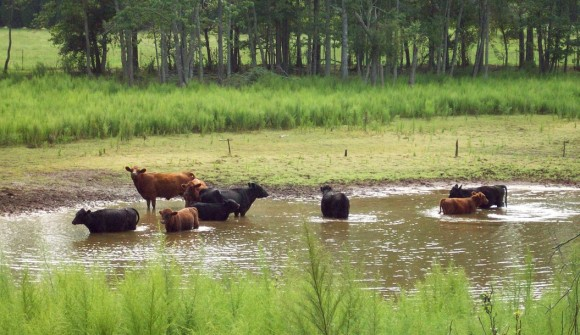 BFF Cows Cooling