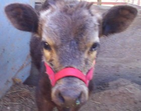 Black Dexter calf with copper deficiency