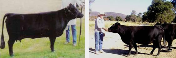 Normal Cows