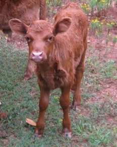 Mauvelous is Baby Pink's first calf.