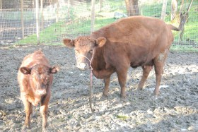 Aphaea and her bull calf, Norris