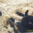 Thumbnail image for Notched Ears in Dexter Cattle